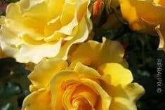 Different Types of Yellow Flowers and Their Meaning|Glaminati.Com